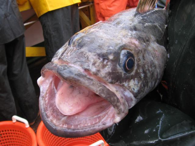 toothfish1