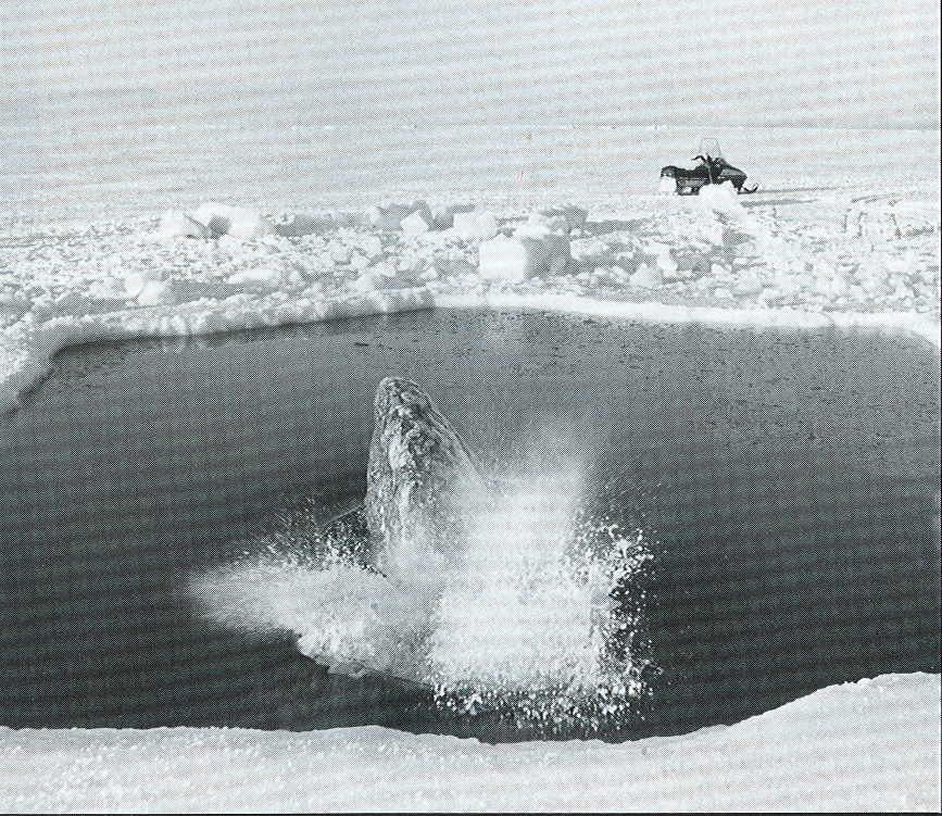 Gray whale blowing in its breathing hole as ice closes in, Oct 13, 1988 (photo Bill Roth, Anchorage Daily News)