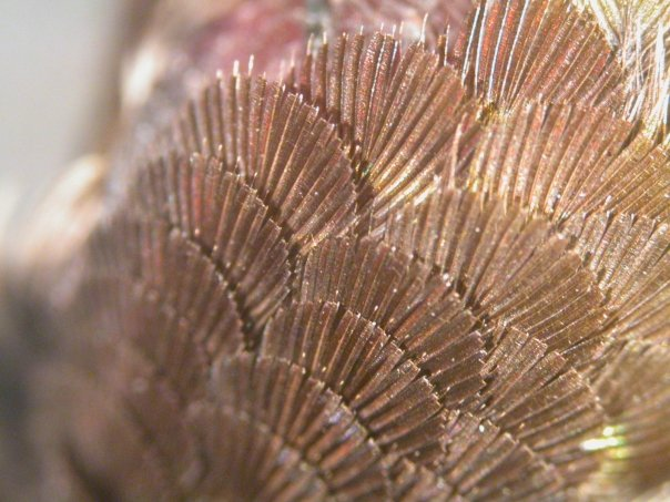 the pink headfeathers of the male anna look almost colourless when viewed from the side. how do they do that?!